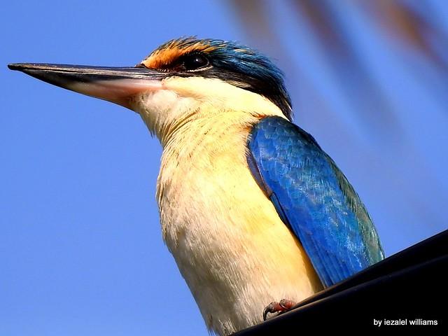Portrait of a Sacred Kingfisher by iezalel williams DSCN1474-002