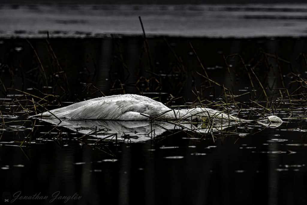 Dead swan in the lake