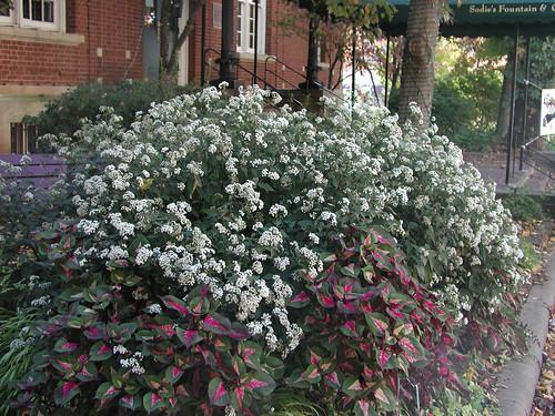 Eupatorium rugosum (Ageratina altissima 'Chocolate') White Snakeroot