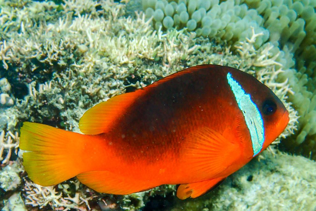 Fiji Tomato Anemonefish