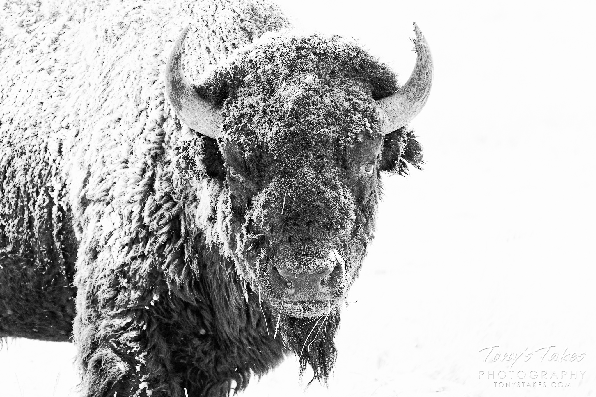 American bison bull in stark black and white