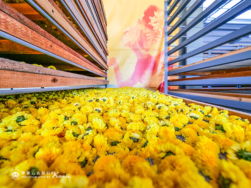 chrysanthemum-travel-25