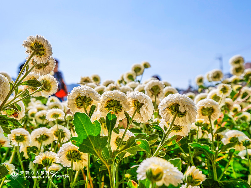 chrysanthemum-travel-14