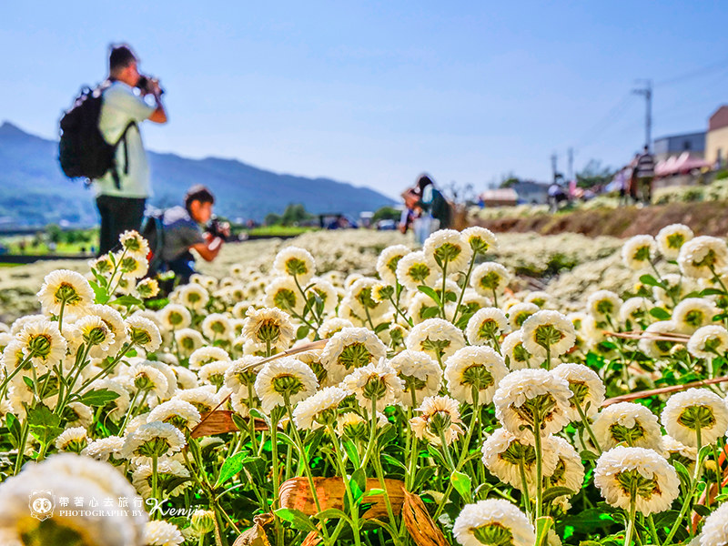 chrysanthemum-travel-13