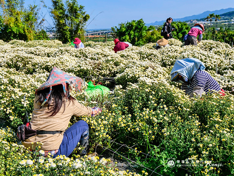 chrysanthemum-travel-12