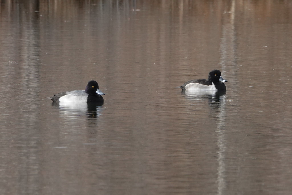 Lesser Scaup and Ring-Necked Duck