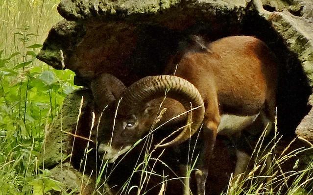 Mufflon , in Deckung,  76805/12104