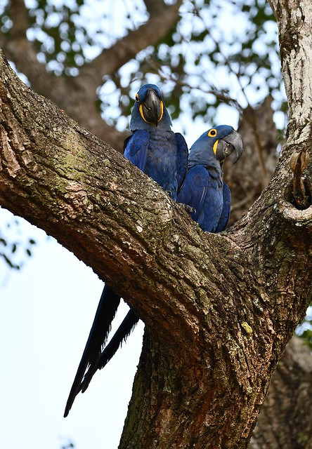 Hyacinth Macaws - high in the trees - The Pantanal region of Brazil