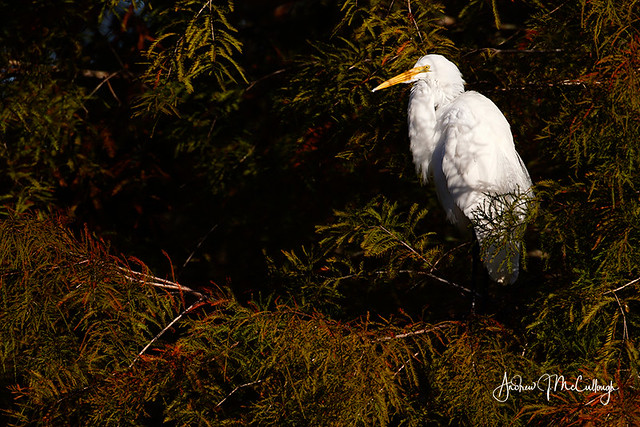 Egret in a Cypress Tree