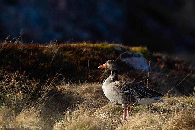 Grågås - Greylag goose