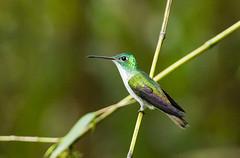 0P7A1713  Andean Emerald Hummingbird, Ecuador