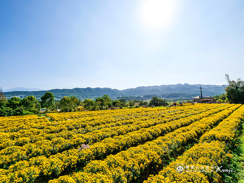 chrysanthemum-travel-7