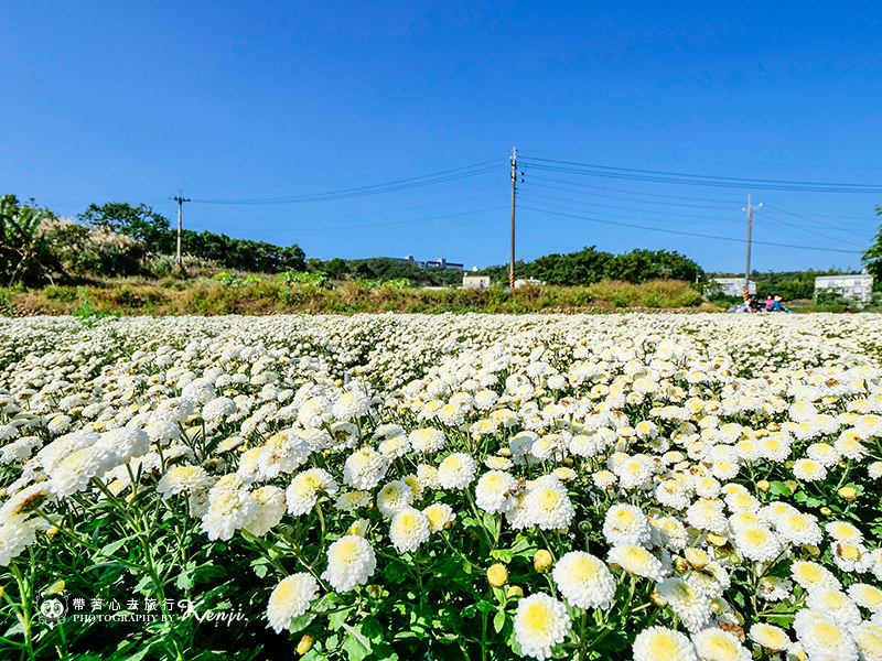 chrysanthemum-travel-6