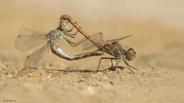Sympetrum sinaiticum. Mating