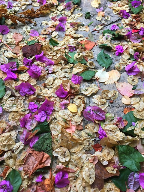 Colors of fall in Croatia  After a jugo, this is a strong southwind The colored leafs are from a Bougainville.