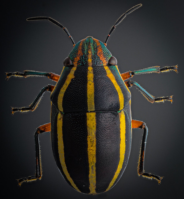 Hemiptera - Focus stack