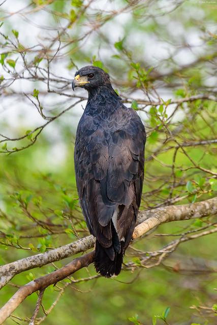 Great Black Hawk (Buteogallus urubitinga)