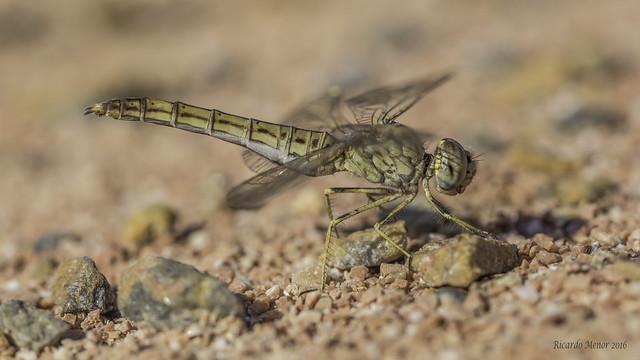 Brachythemis impartita. Female