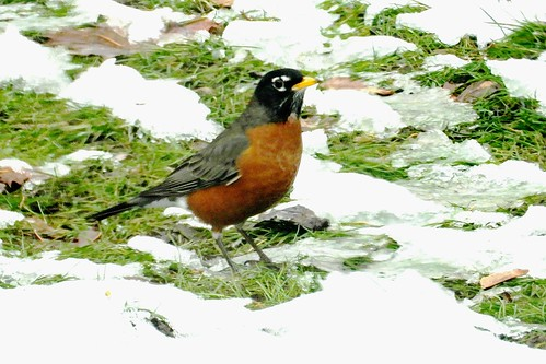 Robin Unaware that Winter Weather has Arrived?