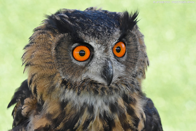 European eagle owl - Falconry fair
