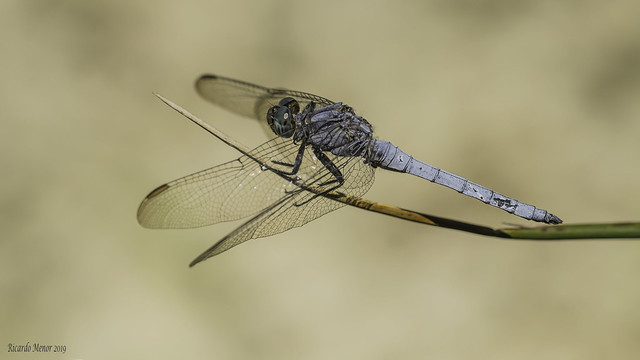 Orthetrum coerulescens. Adult male.