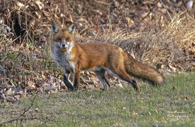 Red Fox with a Mouth Full.  Vulpes vulpes.