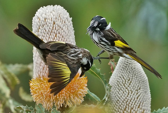 New Holland Honey-eaters 5