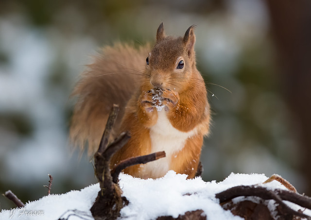 Red squirrels with nut