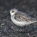Pilrito das praias | Calidris alba | Sanderling