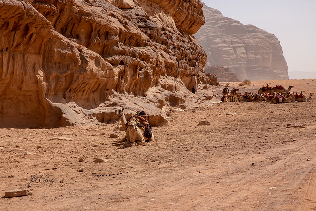 Camels Resting in Wadi Rum