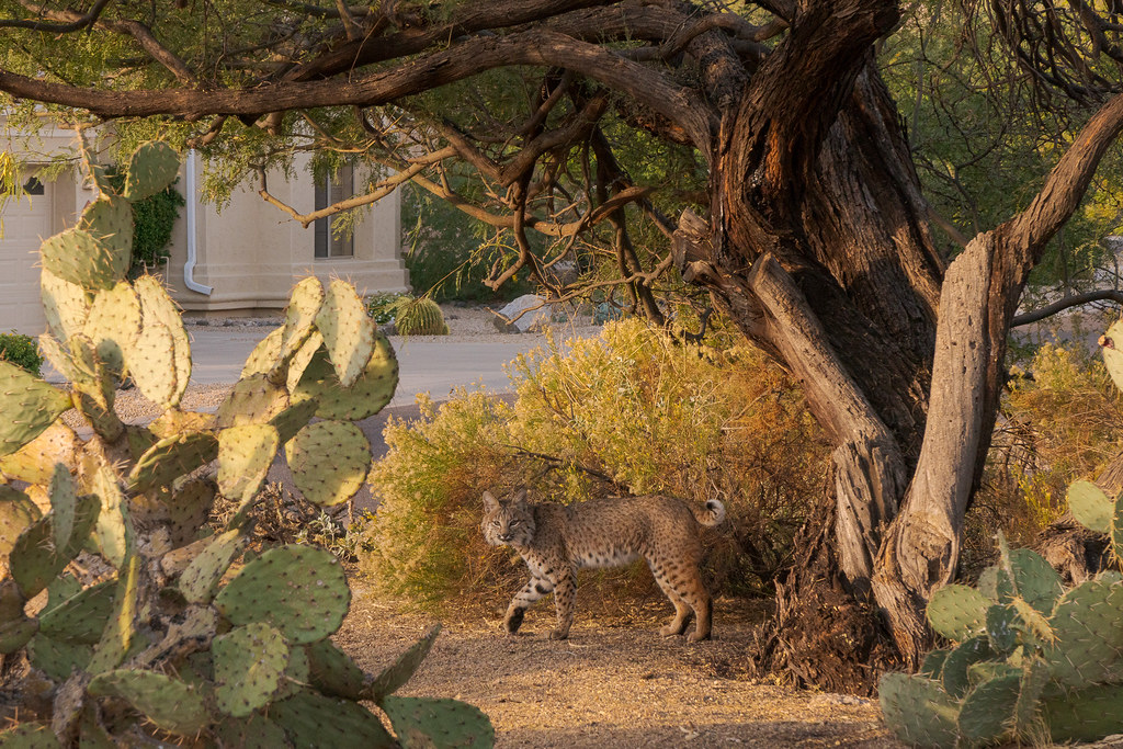 A bobcat looks at me as it walks under a tree in our neighborhood in Scottsdale, Arizona in November 2019