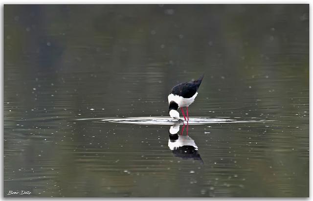 White-Headed Stilt feeding