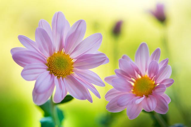 chrysanthemum 0429