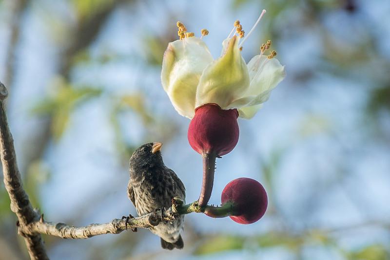 Darwin finches (Geospiza sp.) on Kapok tree flowers (Ceiba pentandra)