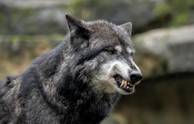 Timberwolf ....da war er nicht so