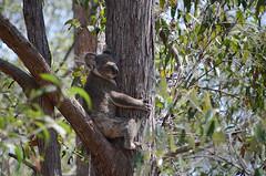Koala settled
