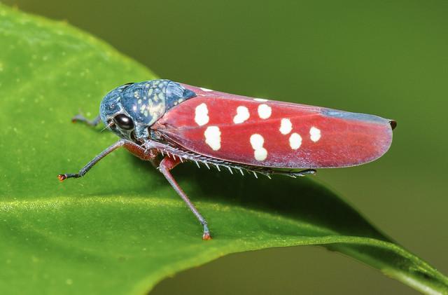 Leafhopper - Graphocephala albomaculata (Cicadellidae, Cicadellinae, Cicadellini) 111p-9600