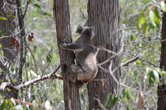 Koala about to jump