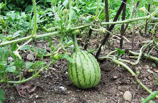 Kuya Imay's vegetable garden