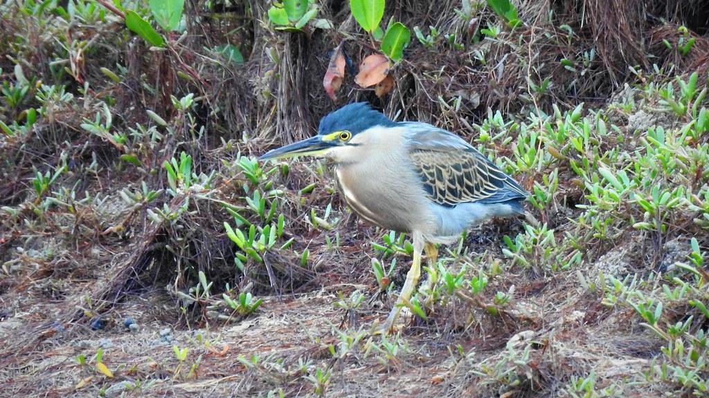 Socózinho - Striated Heron