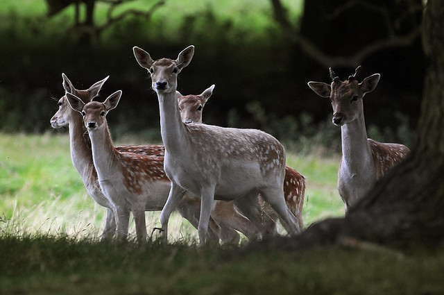 Fallow does, fawn and pricket