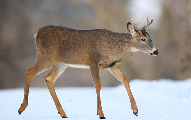 white-tailed deer buck at Lake Meyer Park IA 653A5484