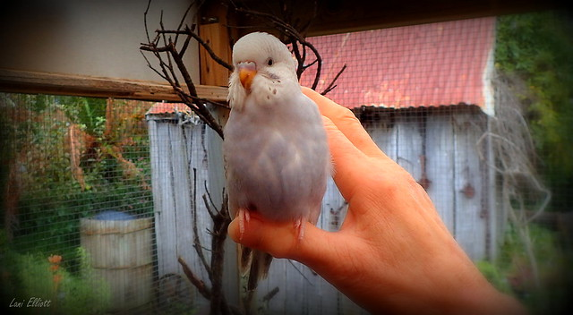 Cutie the Budgie......Smile on Saturday !