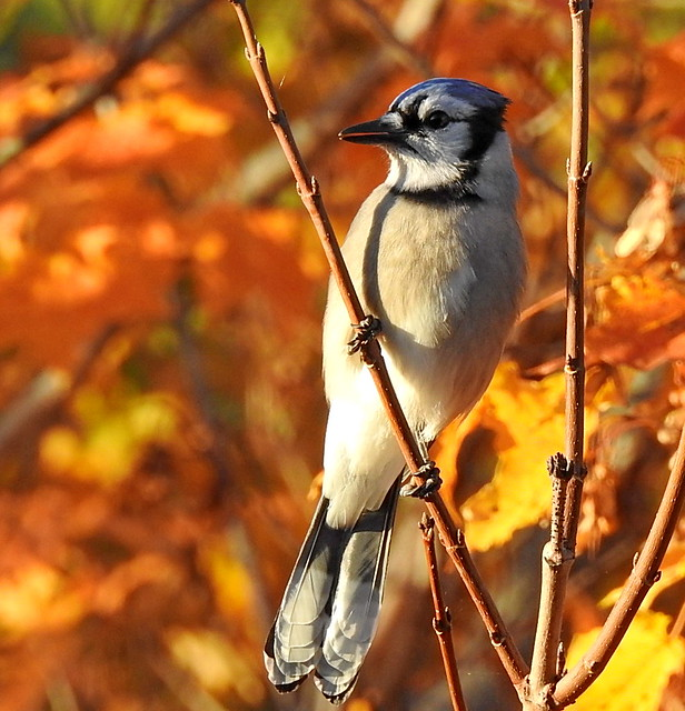 Blue Jay On A Sunny October Morning