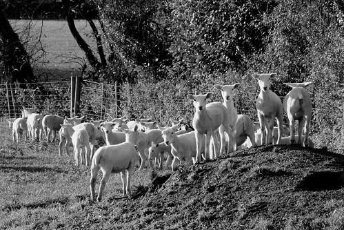 lambs2_monochrome