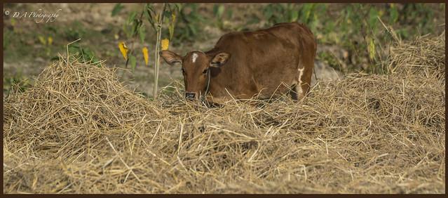 Cow Scene DSC_2820