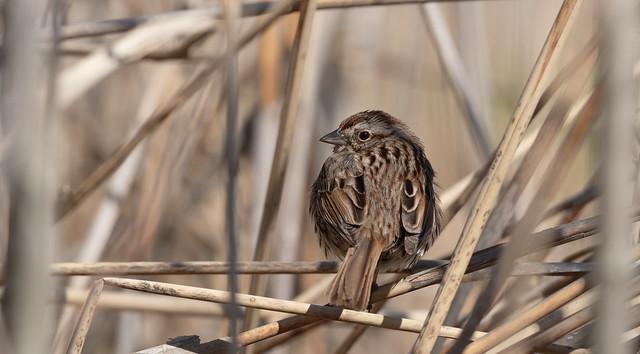 Bruant familier // Chipping Sparrow