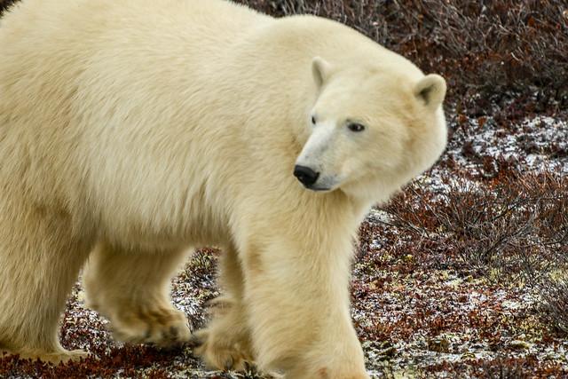Great White Bear -15