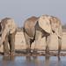 African elephants - Loxodonta africana
