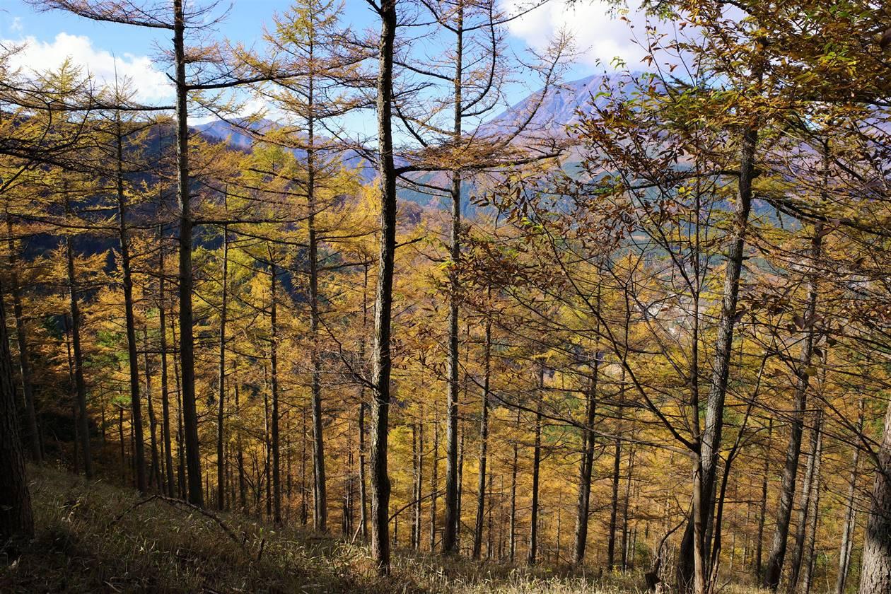鳴虫山登山 カラマツの紅葉